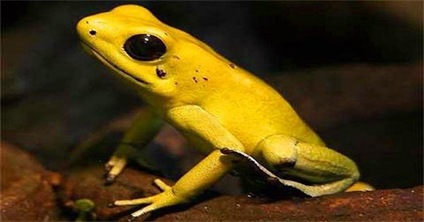 Cảnh giác với loài ếch đẹp chứa độc chết người
