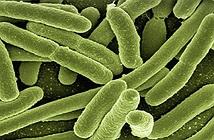 Vi khuẩn tự sát vì lợi ích quần thể