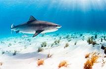 Siêu âm cá mập mang thai, các nhà nghiên cứu choáng váng...