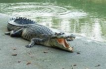 Thót tim xem cụ ông giằng co với cá sấu khủng cứu chó cưng