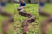 Trăn khổng lồ nặng 90 kg có thể phá vỡ kỷ lục thế giới