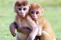 Xúc động cảnh đôi khỉ mồ côi níu chặt nhau không rời
