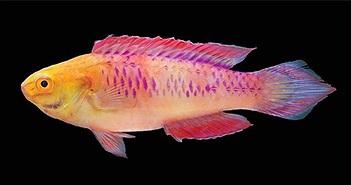 Một loài cá mới vừa được tìm thấy và đặt tên theo phong cách Wakanda