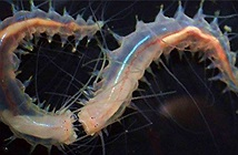 Phát hiện loài giun nhỏ bé có khả năng phát ra âm thanh… lớn nhất trên đại dương