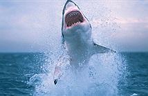Đời sống tình dục lạ thường của cá mập trắng