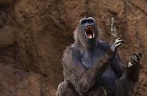 Loài khỉ có thể nói được tiếng người?