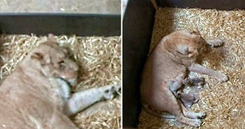 Giải mã việc rùng rợn sư tử mẹ ăn thịt con mình