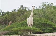 Vì sao chú hươu cao cổ này không có đốm và câu chuyện về những con vật trắng bất thường