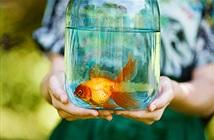Vi khuẩn ăn thịt đục rữa cá vàng, con vật sống sót thần kỳ nhờ...