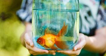 """Vi khuẩn ăn thịt """"đục"""" rữa cá vàng, con vật sống sót thần kỳ nhờ..."""