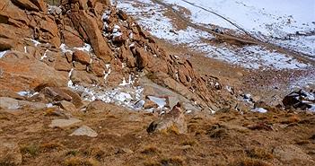 Video: Đàn cừu hoang leo dọc vách đá dựng đứng trên dãy Himalaya gây kinh ngạc