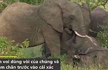 Video: Khoảnh khắc đàn voi đưa tang đồng loại
