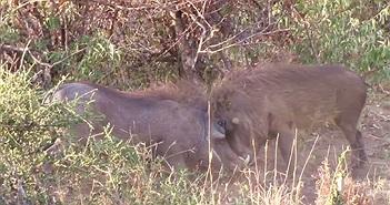 Video: Trận tử chiến dữ dội giữa 2 con lợn lòi, kết cục ra sao?