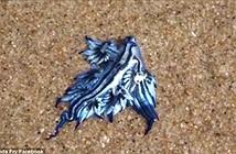 Video: Rồng xanh độc dạt vào bờ biển Australia