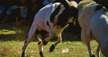Kịch tính cừu Priangan lăn xả, đấu nhau chí mạng