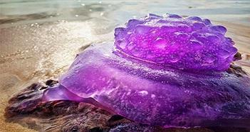 Sinh vật tím hiếm gặp dạt vào bãi biển Australia