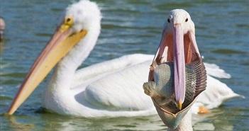 Chim bồ nông suýt rách miệng khi cố nuốt mồi khủng