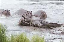 Gặp hà mã lo chuyện bao đồng, cá sấu ôm uất hận