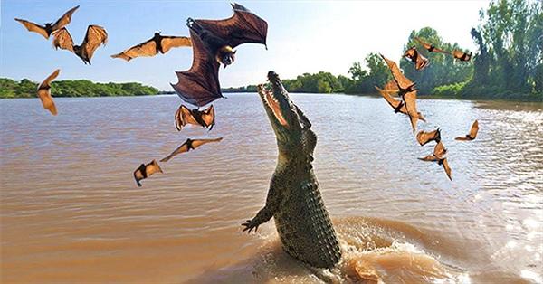 Cá sấu phi thân ngoạn mục bắt sống dơi treo ngược cành cây