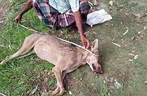 Dân đập chết sói hoang săn gia súc, ngờ đâu sự thật tiếc nuối...