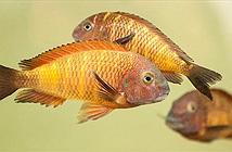 Ngỡ ngàng loài cá cũng biết tương tư như con người