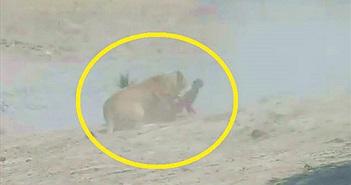 Clip: Linh dương đầu bò bỏ mạng vì bị sư tử tập kích bất ngờ