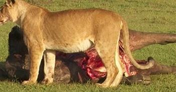 """Linh cẩu đi đánh """"hội đồng"""", cướp trắng mồi của sư tử"""