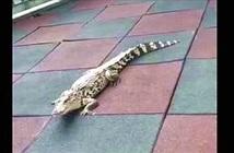 Tá hỏa phát hiện cá sấu lang thang trong nhà trẻ