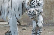 Thích thú hổ trắng siêu tinh nghịch, bị mẹ dạy dỗ nên thân