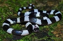 Nọc độc của rắn cạp nia nguy hiểm thế nào?