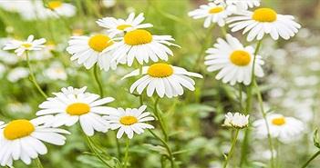 6 loại hoa tốt cho sức khỏe nên trồng trong sân nhà