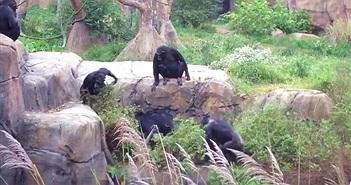 Gấu mèo đột nhập chuồng tinh tinh, bị ném lộn vòng
