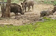 Lợn rừng tung đòn mãnh liệt, liều chết với cá sấu
