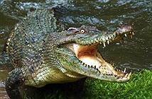 Cá sấu tấn công chớp nhoáng, chàng trai dùng mánh thoát gang tấc