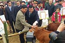 Tạm dừng trao bò giống tại các vùng có dịch lở mồm long móng