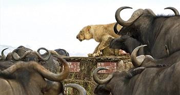 Đường đường chúa tể, sư tử bị trâu rừng quây đánh khó tin