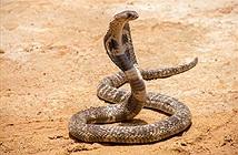 Mở cửa nhà vệ sinh, điếng người 18 con rắn hổ mang nhìn trừng trừng