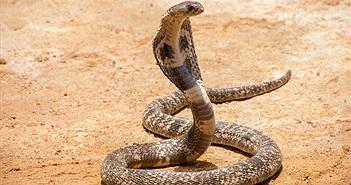 """Mở cửa nhà vệ sinh, """"điếng người"""" 18 con rắn hổ mang nhìn trừng trừng"""