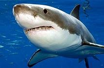 Những sự thật về cá mập