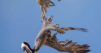 Chim ưng ra đòn hiểm khi bồ nông cứ ve vãn quanh tổ