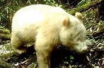 Hình ảnh gấu trúc trắng trong lần tái xuất hiếm hoi ở Trung Quốc