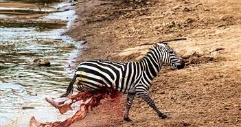 Ngựa vằn chạy tới gục chết khi bị cá sấu xé toạc