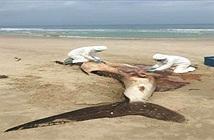 Sự thật tàn nhẫn quanh cái chết của cá nhám voi với bụng nilon