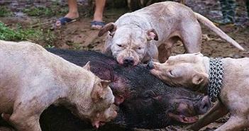 """Chó săn cắn xé lợn rừng """"man rợ"""": Hai năm hơn 100 trận chiến"""