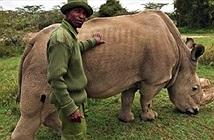Sau 1 tháng tìm bạn tình, tê giác trắng đực duy nhất đã chết