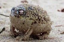 Âm thanh gào thét giận dữ của loài ếch này đảm bảo sẽ khiến tất cả chúng ta cùng sợ