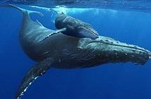 Nghe thử những bài hát làm mê hoặc lòng người của cá voi từ sâu thẳm đại dương
