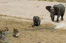 Đôi sư tử đói ranh mãnh khiến con voi bỏ mạng tức tưởi