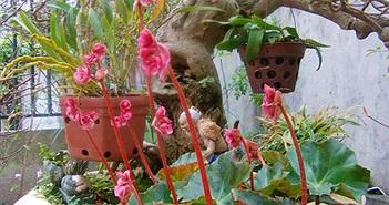 Cách trồng hoa sen cạn đuổi muỗi mùa mưa