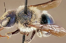 Loài ong xanh tưởng đã tuyệt chủng tái xuất sau 4 năm
